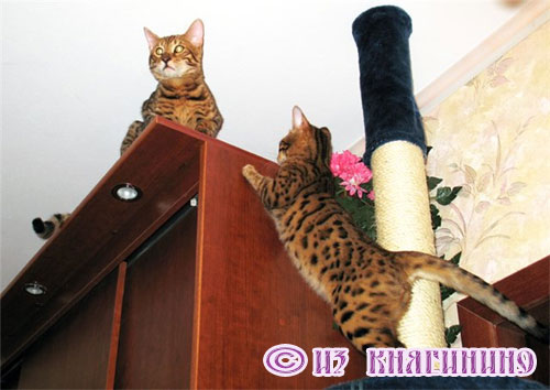 бенгалы кошки фото