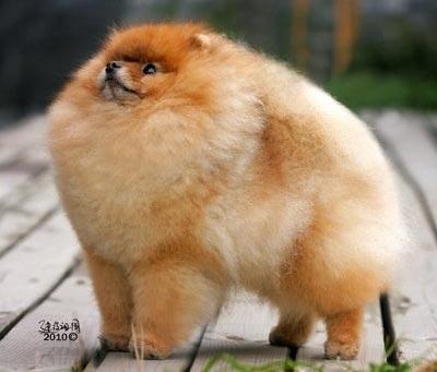 Купить недорого щенка породы собак Померанский шпиц