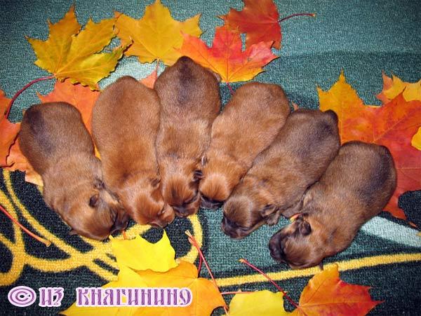 Качан сколько щенков рожает миниатюрный шпиц по: